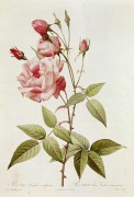 Роза (Rosa Indica Vulgaris) - Редуте, Пьер-Жозеф
