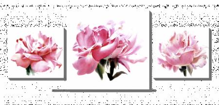Розы_3