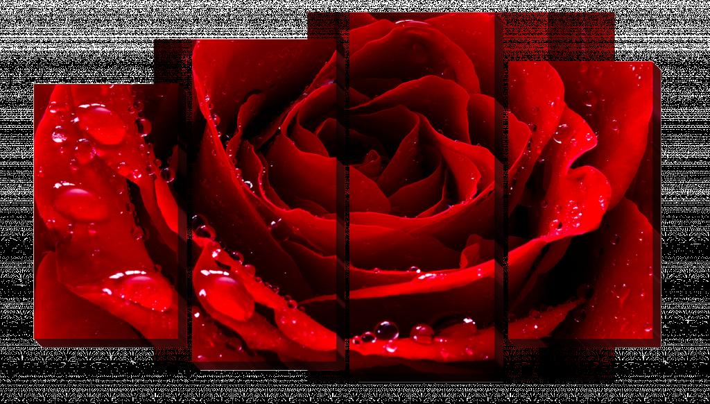 Красная роза_2