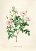Розы - Редуте, Пьер-Жозеф