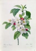 Ветвь цветущей яблони - Редуте, Пьер-Жозеф
