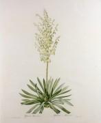 Юкка (Yucca Filamentosa) - Редуте, Пьер-Жозеф