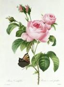 Роза (Rosa Centifolia) - Редуте, Пьер-Жозеф