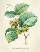 Лесной орех - Редуте, Пьер-Жозеф