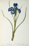 Ирис (Iris Xyphioides) - Редуте, Пьер-Жозеф