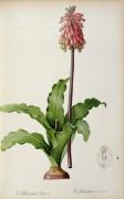 Вельтеймия (Veltheimia Capensis) - Редуте, Пьер-Жозеф