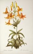 Лилия (Lilium Penduliflorum) - Редуте, Пьер-Жозеф