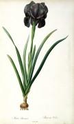 Ирис (Iris Luxiana) - Редуте, Пьер-Жозеф