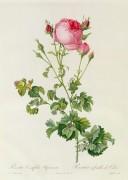Роза (Rosa Centifolia Bipinnata) - Редуте, Пьер-Жозеф