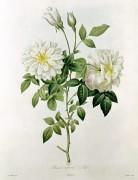 Нуазетовая роза (Aime Vibere) - Редуте, Пьер-Жозеф