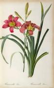 Лилия (Hemerocallis fulva) - Редуте, Пьер-Жозеф