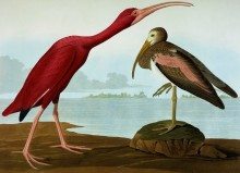 Красный ибис - Одюбон, Джон Джеймс