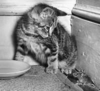 Котенок ,смотрящий на мышь - Кей, Пол