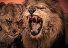Ревущий лев - -