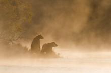 Пара медведей - Сток