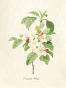 Цетущая яблоня - Редуте, Пьер-Жозеф