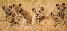 Семья львов - -