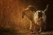 Охотничьи собаки - Сток