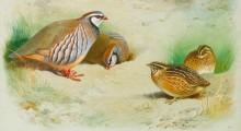Красные куропатки с птенцами - Торберн, Арчибальд