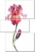 Розовый ирис - Сток