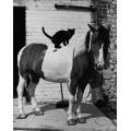 Кошка на  пони