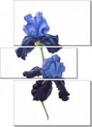 Синий ирис - Сток