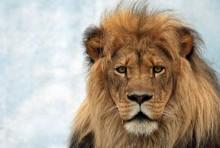 Лев. Царь зверей - Сток