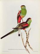 Райский попугай - Гулд, Джон