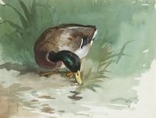 Кряква, кормящаяся на берегу водоема - Торберн, Арчибальд