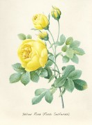 Желтая роза - Редуте, Пьер-Жозеф