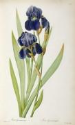 Ирис (Iris Germanica) - Редуте, Пьер-Жозеф