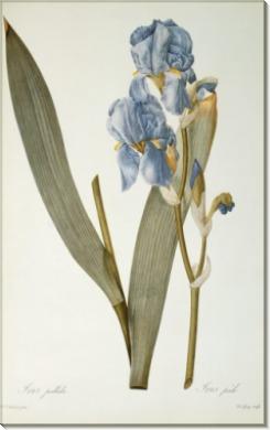 Ирис (Iris Pallida) - Редуте, Пьер-Жозеф
