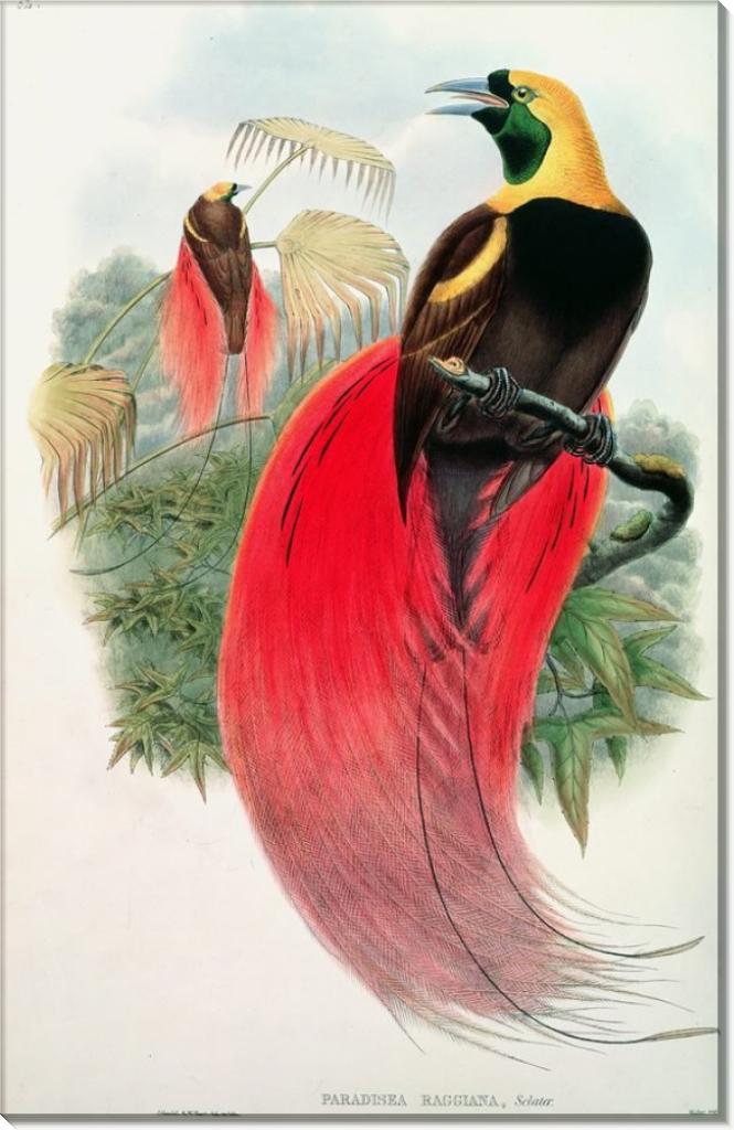 Райская птица - Гулд, Джон