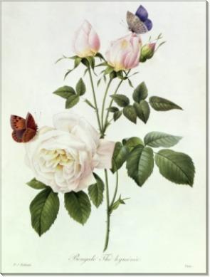 Бенгальская роза (Rosa Bengale) - Редуте, Пьер-Жозеф