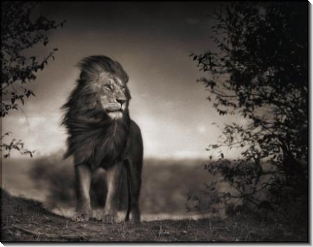 Лев на фоне песчаной бури - Брандт, Ник