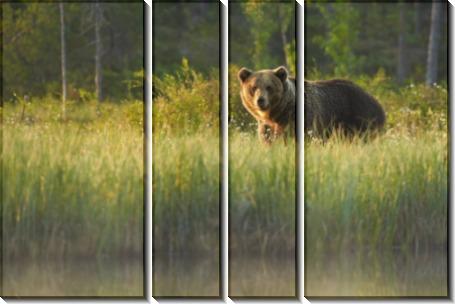 Бурый медведь - Сток